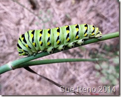 Sue Reno, Black Swallowtail Caterpillars