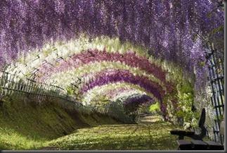 Wisteria Flower Tunnel di Jepang