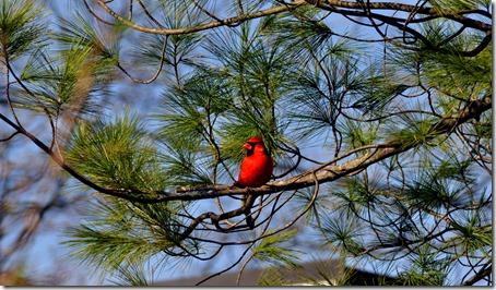 cr-cardinal-wb-3298-