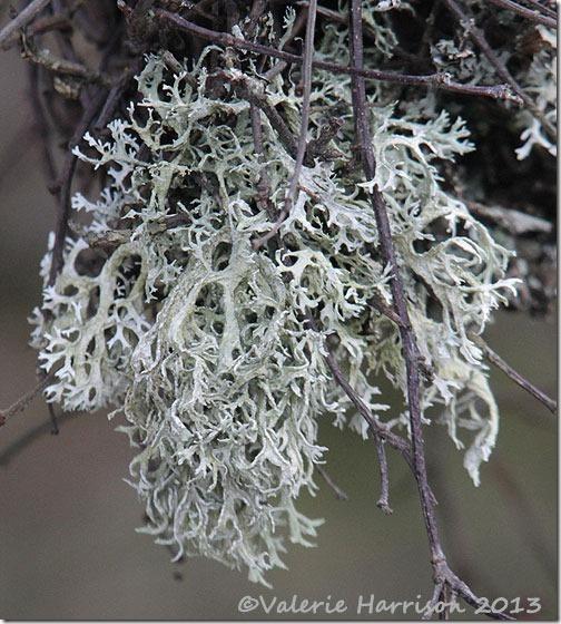 10-lichen
