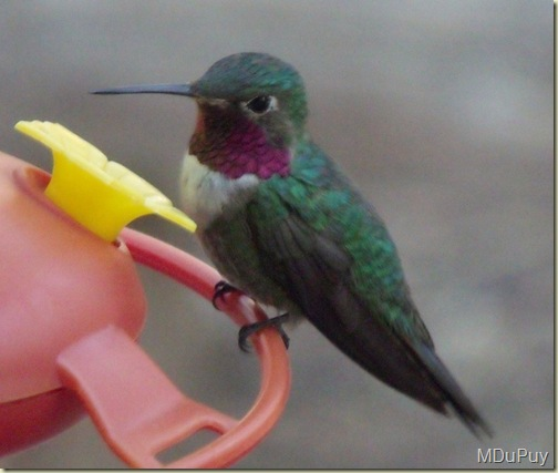 02 Black-chinned Hummingbird at feeder NR GRCA NP AZ by Mike (1024x867)