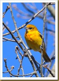 - Baltimore OrioleD7K_9164 November 18, 2011 NIKON D7000