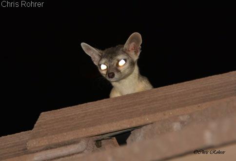 Chris Rohrer Ringtailed cat