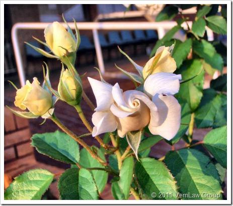 RosesPC100198 (2)