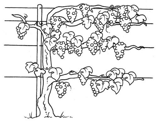Dibujos de vid para colorear dibujos de vi as - Dibujos para la pared ...