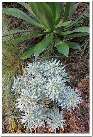 130110_Euphorbia-characias-Glacier-Blue_02