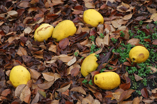 Quince packs a powerful punch.  They are hard, sour, and astringent when eaten raw.  And this variety doesn't even taste good when cooked.  Martha prefers the pear-shaped fuzzy quince for making jelly.