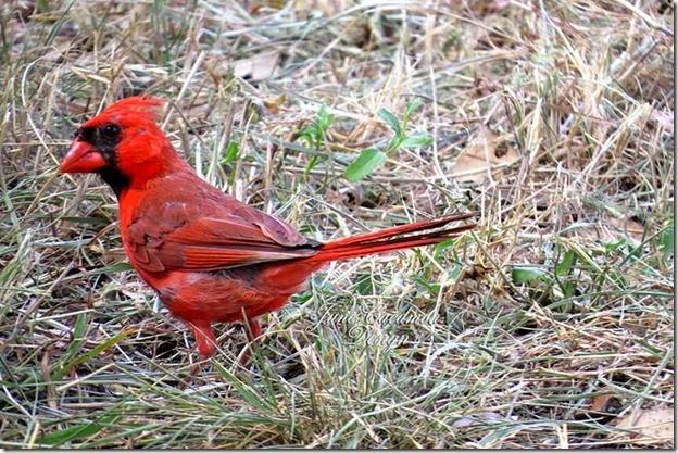 Cardinal_Male2