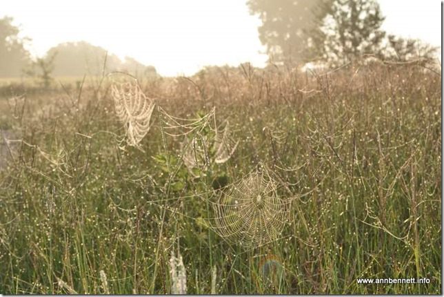 spider webs in tall grass