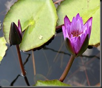 LAVENDER WATER LILY 9