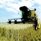 blé algerie.JPG