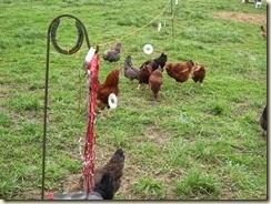 free range flock