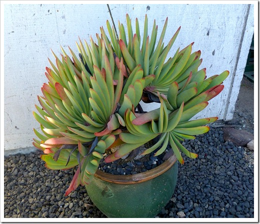 111001_succulent_gardens_aloe_plicatilis_02_fixed