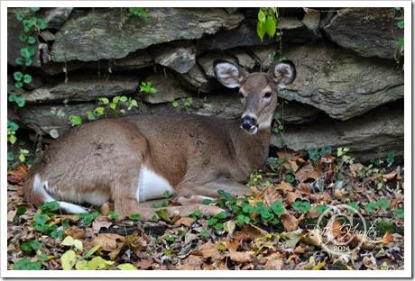 cr-deer
