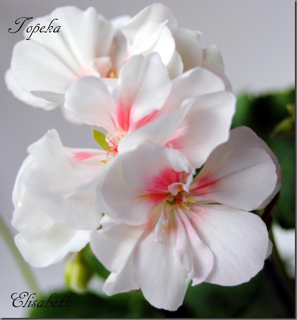 Pelargonium juni-11 099