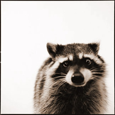 raccoon_D