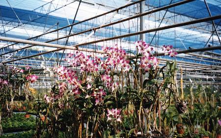 Imagini Bangkok: sera orhidee Thailanda