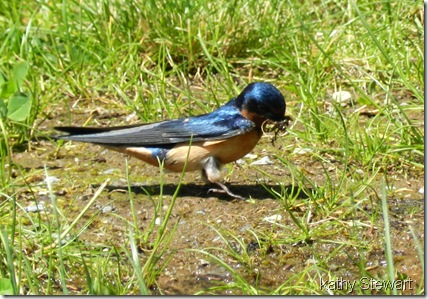 Barn Swallow with nesting material