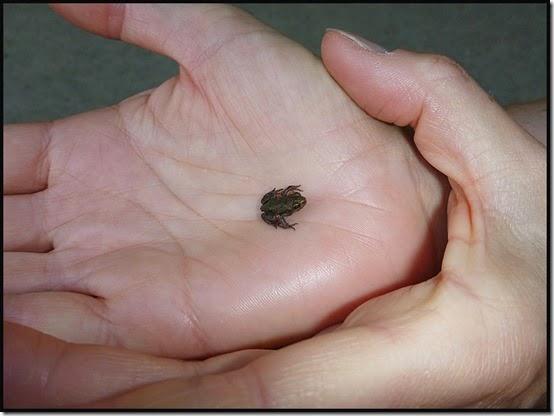 1816reddishfrog1