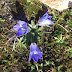 Campanula%252520sp.%25252c%252520m.%252520aragats%25252c%2525202012.08.05