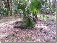 Palm in trail fork