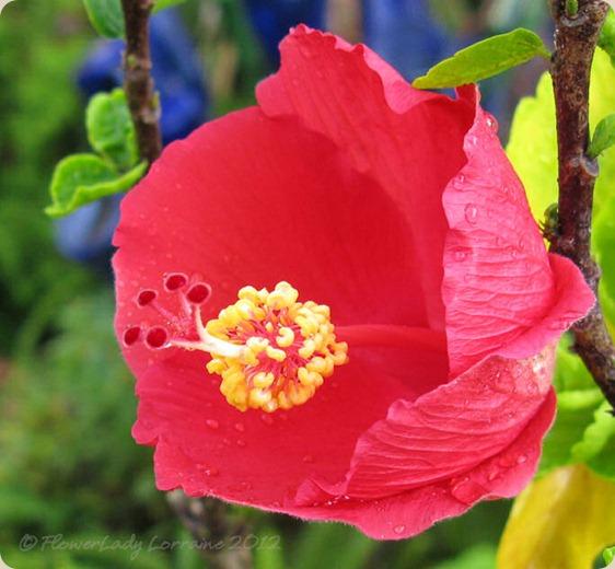 07-06-hibiscus