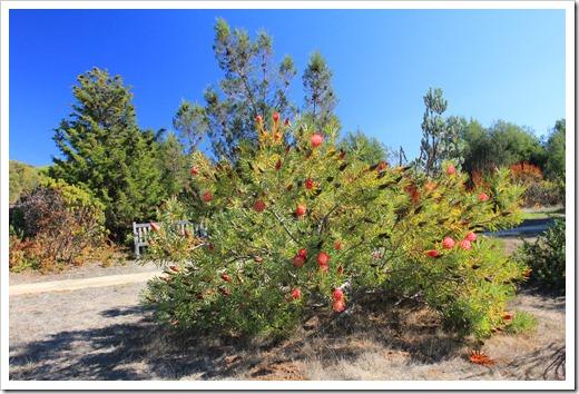 121027_UCSCArboretum_Protea-neriifolia_14