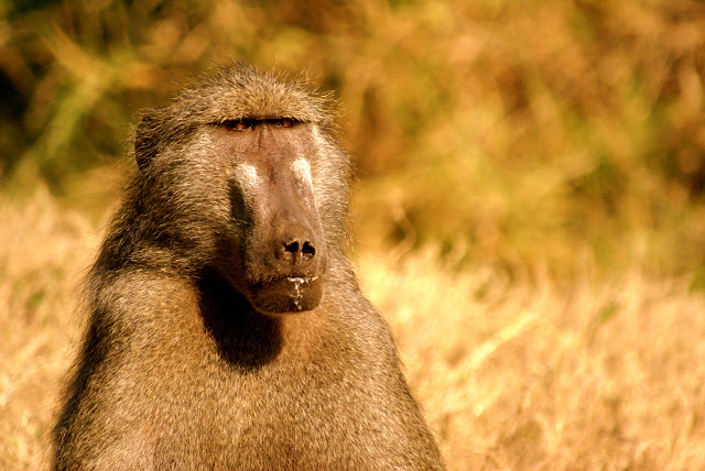 A Chacma Baboon (Papio ursinus) warms himself in the sun on a dry winter day in the fynbos.