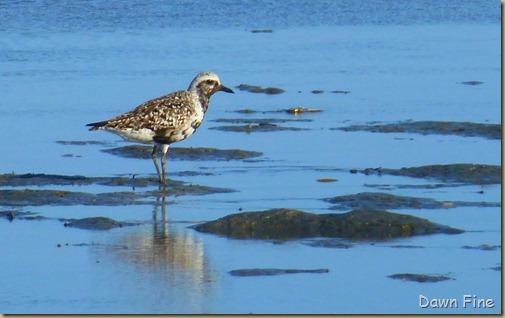tern island birding_093