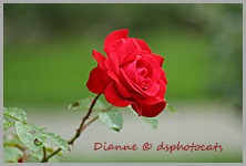 IMG_1806 The Rose