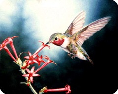 humming_bird