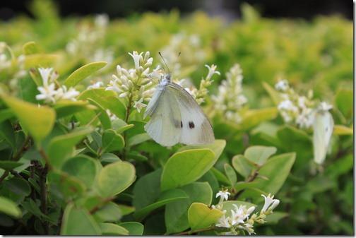 昆山城市公園,小白蝶正在愉快地吸取花蜜呢!