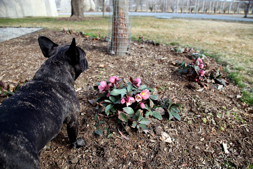 Ah, yes, Sharkey!  These are indeed Helleborus Orientalis, the botanical name of the very popular, early blooming shade perennial more commonly known as the Lenten Rose.