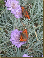 IMG_0013 Butterflies on Cornflowers