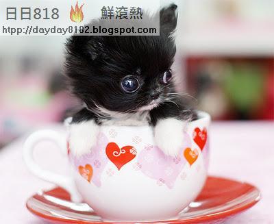 茶杯犬 違法販售