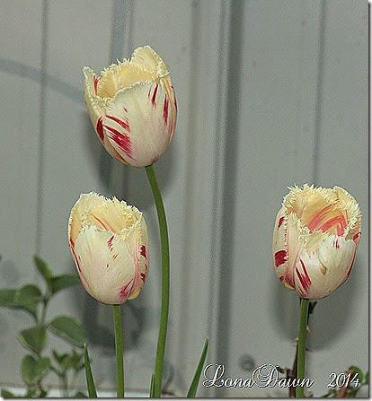 Tulip Carrousel3