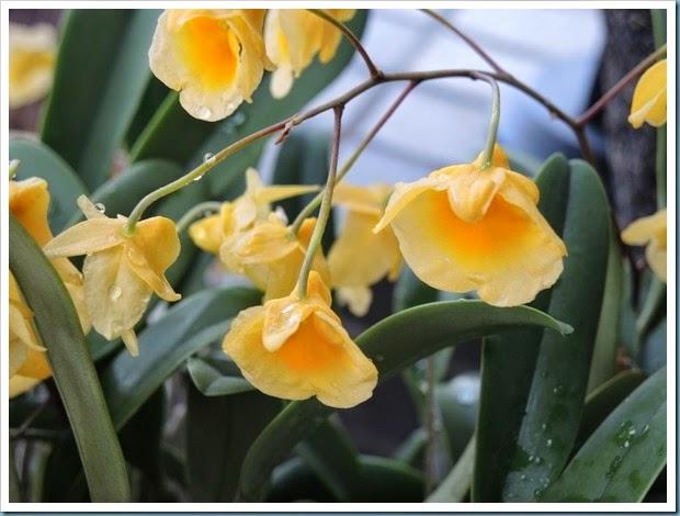 黃金石斛2