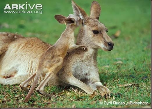 ARKive image GES061530 - Eastern grey kangaroo
