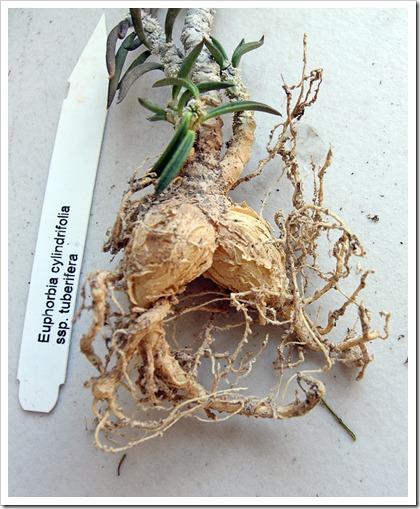 120309_Euphorbia-cylindrifolia-tuberifera_01