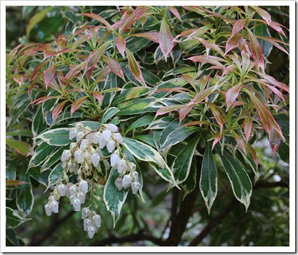 120317_Capitol_Park_variegated-pieris