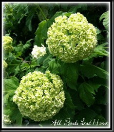 snowball bush4 ARLH