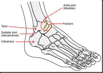 normal foot bones anatomy