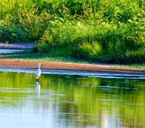 18. Snowy egret-kab