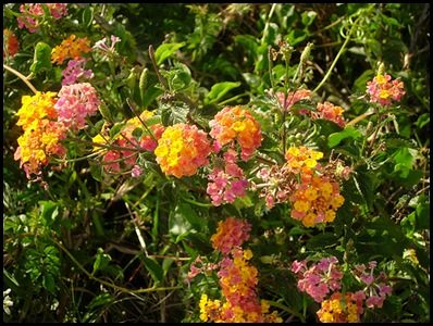 lantana3