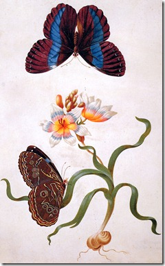 Merian-Maria-Sibylla-Grasiris-with-exotic-butterfly-Sun