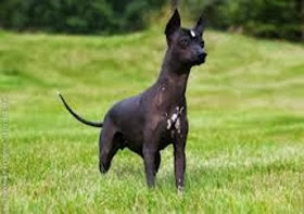 Amazing Pictures of Animals, Photo, Nature, Incredibel, Funny, Zoo, Dog, Mexican Hairless Dog, Xoloitzcuintle, Mammals, Alex (8)