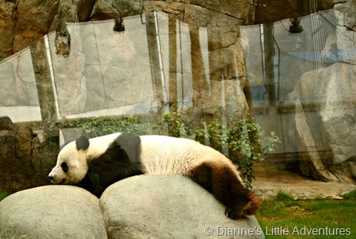hong kong, ocean park, family, love, giant panda, panda, cute, lazy