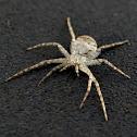 Grey Running Crab Spider