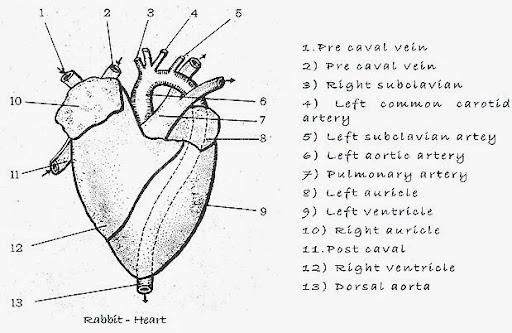Reptile heart diagram reptile heart diagram photo28 ccuart Choice Image