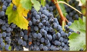 Сорт винограда Мускат чёрный